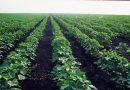 مطالبات بتفعيل القوانين وتكوين بورصة المحاصيل النقدية بالجزيرة .